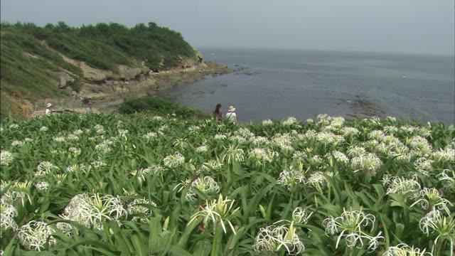 vídeos y material grabado en eventos de stock de natsuigahama beach abloom with crinum asiaticum  people looking out at the sea   long - hymenocallis caribaea