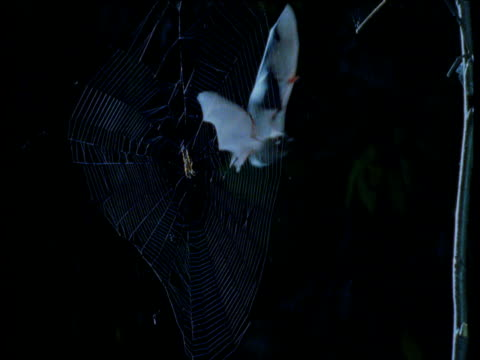 natterer's bat attempts to take spider from web - pipistrello video stock e b–roll