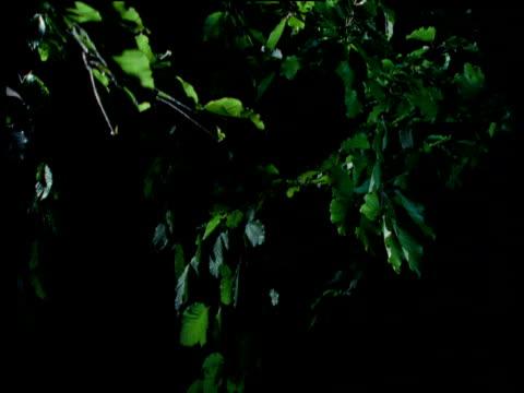 natterer's bat flies through trees - 空気力学点の映像素材/bロール