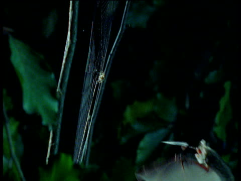 natterer's bat takes spider from web and flies backwards to avoid getting caught in strands of silk - arachnid stock videos & royalty-free footage
