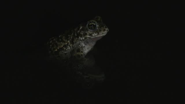 natterjack toad (epidalea calamita) calling at night in shallow water, south downs - サウスダウンズ点の映像素材/bロール