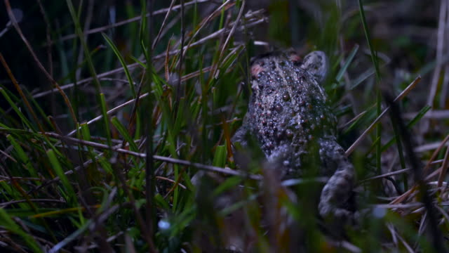 natterjack toad (epidalea calamita) crawling through grass, south downs - サウスダウンズ点の映像素材/bロール