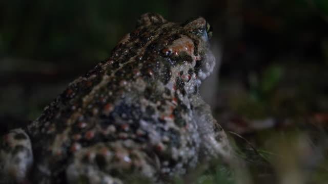 natterjack toad (epidalea calamita) sits and crawls out of frame, south downs - サウスダウンズ点の映像素材/bロール