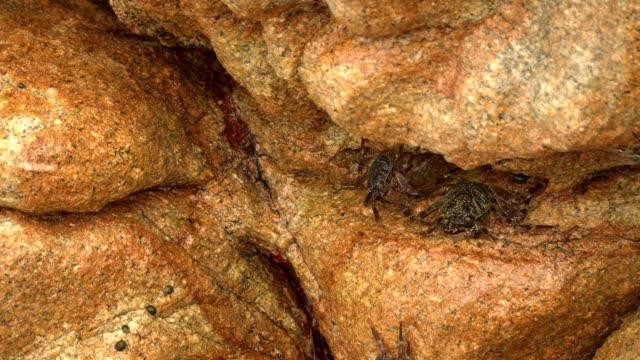 stockvideo's en b-roll-footage met natuurlijke camouflage krab op een rots in het water van nga nyo gyee island, of boulder island, myanmar - boulder rock