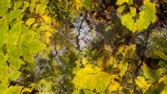 MAPLE ASH TREE IN AUTUMN : natural colors - TRANSITION
