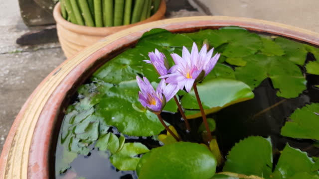 Natural fresh solid violet and lotus blossom flower and pattern green leaves tree in clay pot. Rare type.
