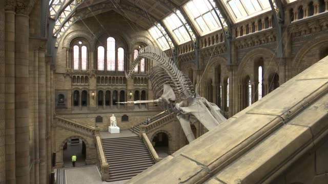 vídeos y material grabado en eventos de stock de natural history museum blue whale skeleton general views england london south kensington natural history museum int gvs blue whale skeleton hanging... - museo de historia natural museo
