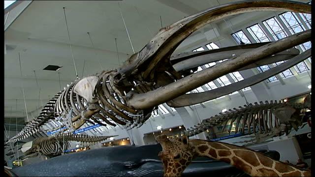 Blue Whale skeleton returns after clean up INT Skeleton on display