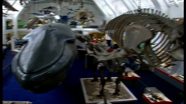 blue whale skeleton returns after clean up england london natural history museum int blue whale skeleton back on display - cetacea stock videos and b-roll footage
