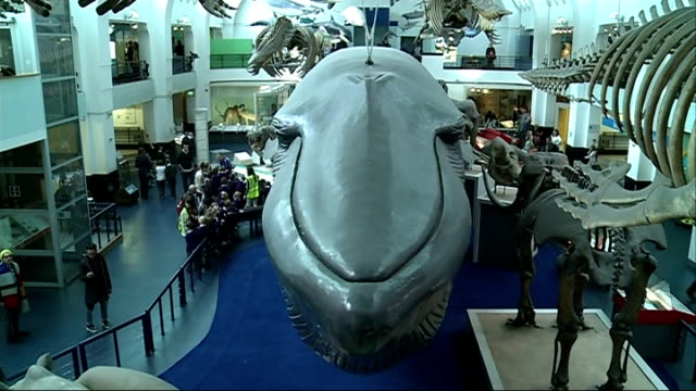 Dippy the Diplodocus to be replaced by blue whale skeleton Richard Rabin interview SOT Blue whale model and skeletons in museum Close shot bones...