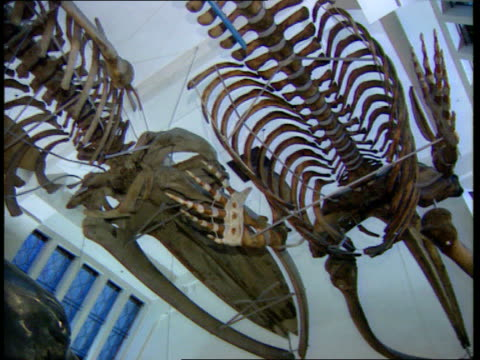 Natural History Museum fined over radioactive rocks LIB London Natural History Museum Brontosaurus dinosaur skeleton in foyer of Natural History...