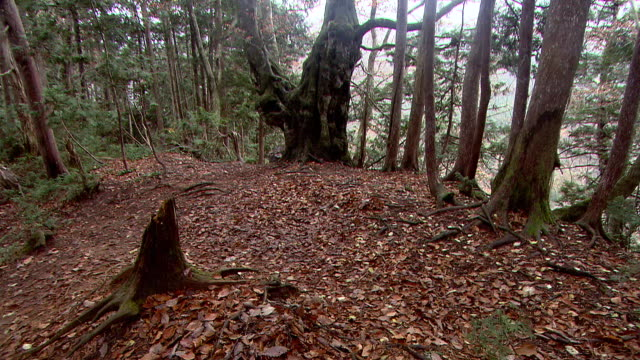 natural landscape in virgin forest - beech tree stock videos and b-roll footage