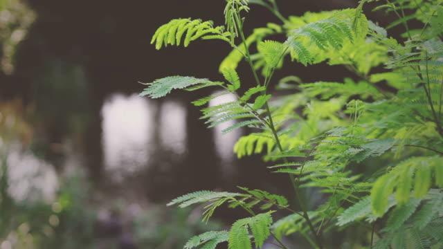 vídeos de stock, filmes e b-roll de parque natural de vintage filme - sequoia sempervirens