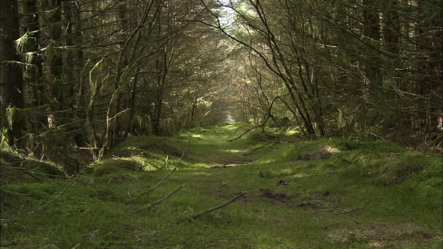 Natural path in forest with overhanging trees, Northern Ireland