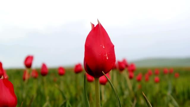 vidéos et rushes de tulipes rouge naturel fluctuant dans le mouvement lent de la vent de rosée - rosée
