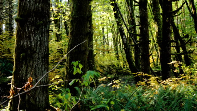 natural stream in a forest: pacific northwest - fir tree stock videos and b-roll footage