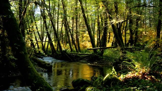 vidéos et rushes de flux naturel dans une forêt: nord-ouest pacifique - être à l'ombre