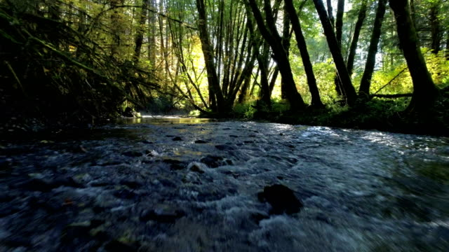 natural stream in a forest: pacific northwest - ruscello video stock e b–roll