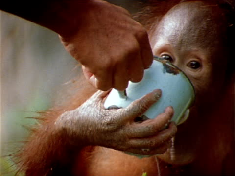a naturalist feeds young orangutans. - naturist stock videos & royalty-free footage
