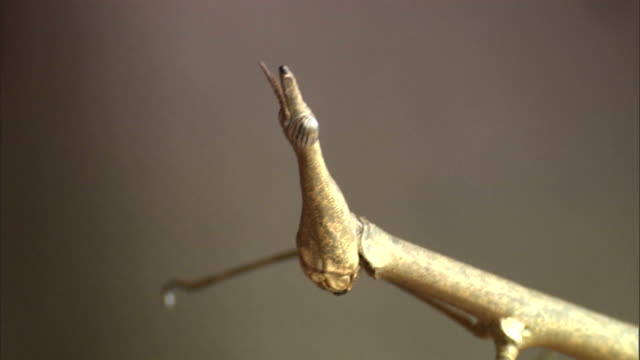 a naturalist uses a finger to spread the antennae of a praying mantis. - naturist stock videos & royalty-free footage