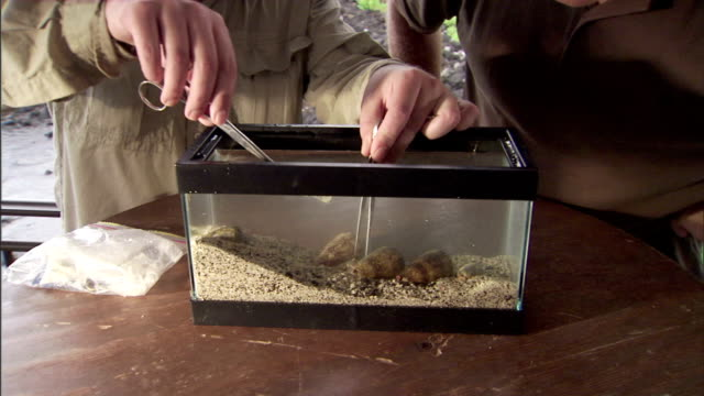 a naturalist uses tongs and tweezers to handle snails in a tank. - naturist stock videos & royalty-free footage