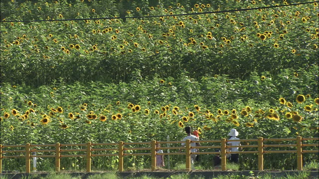 Naturalists stroll through a field of blooming sunflowers.