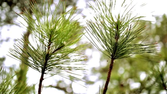 natur hintergrund - sequoiabaum stock-videos und b-roll-filmmaterial