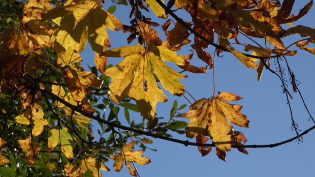Nature detail of yellow leaves and blue sky