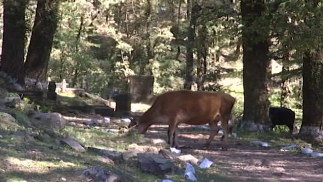 nature, dharamsala. a jersey cattle foraging beneath a densely forested thicket of pine and cedar trees. - kieferngewächse stock-videos und b-roll-filmmaterial