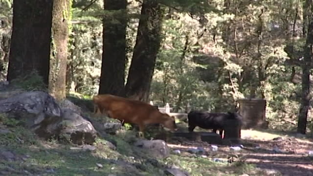 nature dharamsala ls of cattle foraging beneath a densely forested thicket of pine and cedar trees - moos stock-videos und b-roll-filmmaterial