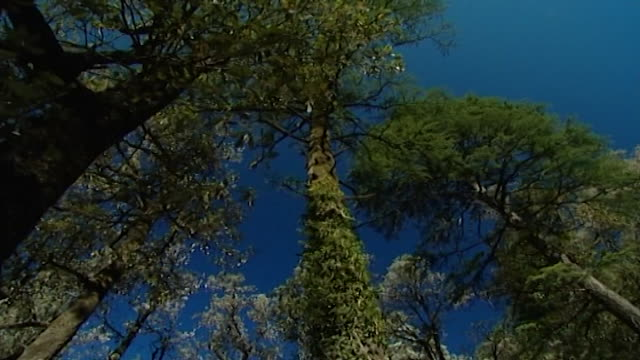 nature, dharamsala. low-angle of towering, moss-covered himalayan cedar and fir trees beneath a crystal clear blue sky. - moss stock videos & royalty-free footage