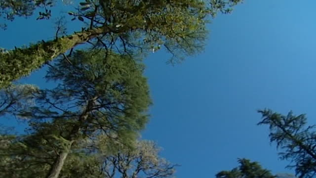 nature dharamsala lowangle panleft of the massive towering mosscovered himalayan cedar and fir trees beneath a crystal clear blue sky - moss stock videos & royalty-free footage