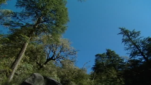nature dharamsala lowangle panleft of towering mosscovered himalayan cedar fir and dogwood trees beneath a crystal clear blue sky - moss stock videos & royalty-free footage