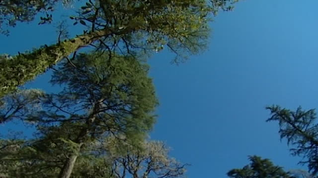 nature dharamsala lowangle panleft of towering mosscovered himalayan cedar and fir trees beneath a crystal clear blue sky - moss stock videos & royalty-free footage