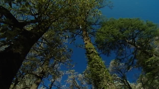 nature, dharamsala. low-angle pan-right of towering, moss-covered himalayan cedar and fir trees beneath a crystal clear blue sky. - moss stock videos & royalty-free footage