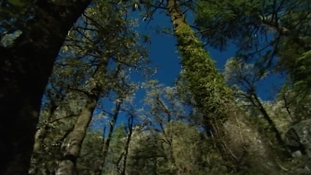 nature dharamsala panright from dense mosscovered cedar and fir trees to a clearing depicting a variety of tree species beneath a blue sky - moss stock videos & royalty-free footage