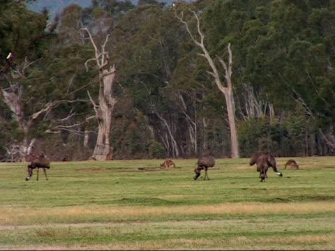nature - emu's and kangaroo's - emu stock videos & royalty-free footage