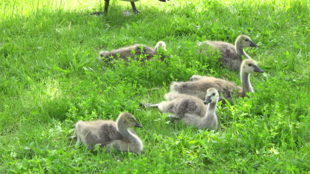 nature: five goslings in the grass during spring season - canada goose stock videos & royalty-free footage