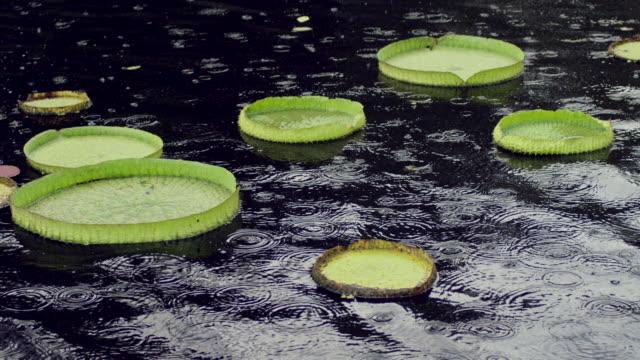 vídeos y material grabado en eventos de stock de nature in naples botanical garden - loto