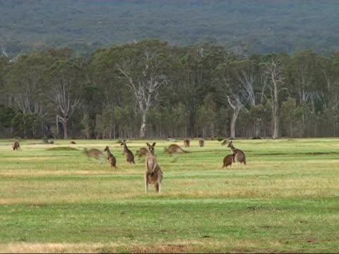 自然のカンガルーのグループ - カンガルー点の映像素材/bロール