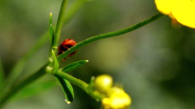 nature, ladybug        na - ranunculus stock videos & royalty-free footage