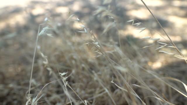 naturpflanzengetreide - cereal plant stock-videos und b-roll-filmmaterial