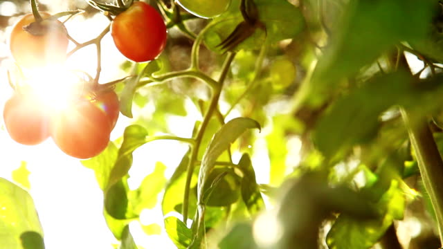 nature tomato light
