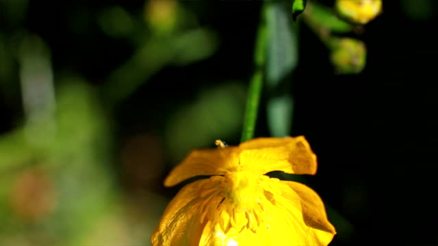nature wild flowers     na - ranunculus stock videos & royalty-free footage