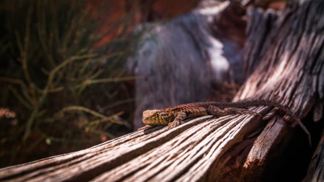 4K Nature/Wildlife/Weather : Whiptail Lizard in the desert