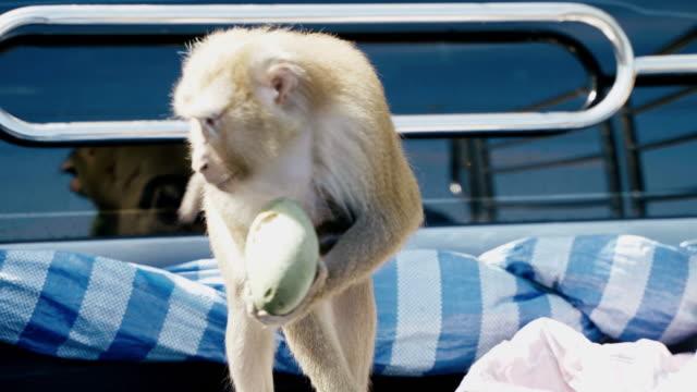 freche macaque monkey essen oder füttern, pflanzen, samen und früchte auf den bäumen und auf dem boden. - neuweltaffen und hundsaffen stock-videos und b-roll-filmmaterial