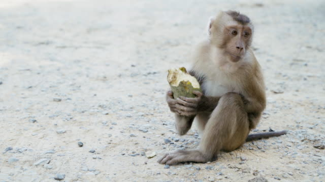 naughty macaque monkey eating or feeding, plants, seeds and fruits on the trees and on the ground. - feeding stock videos & royalty-free footage