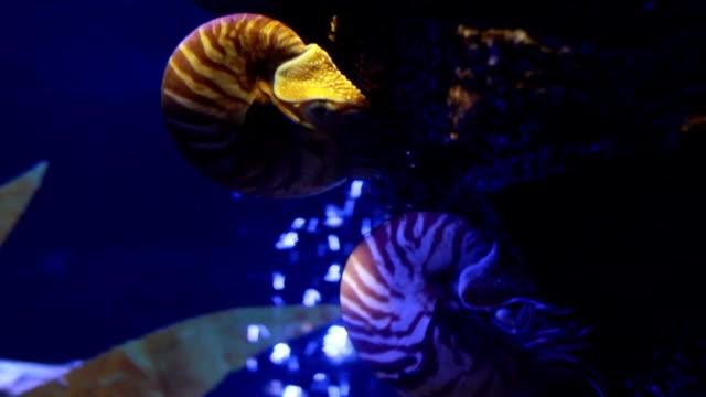 nautilus pompilius - nautilus stock videos & royalty-free footage