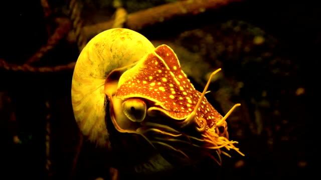 nautilus shell - nautilus stock videos & royalty-free footage