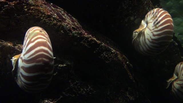 nautilus - nautilus stock videos & royalty-free footage